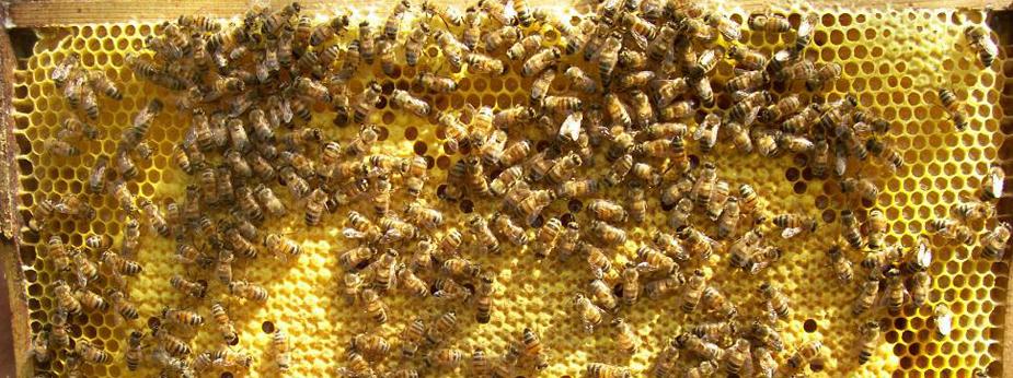 Bienendichte-auf-Waben